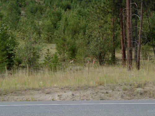 Coyote at the Roadside