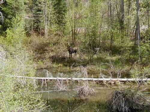 Moose in the Roadside Bush