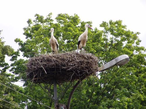 Plenty More Storks!