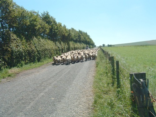 Sheep a Plenty!