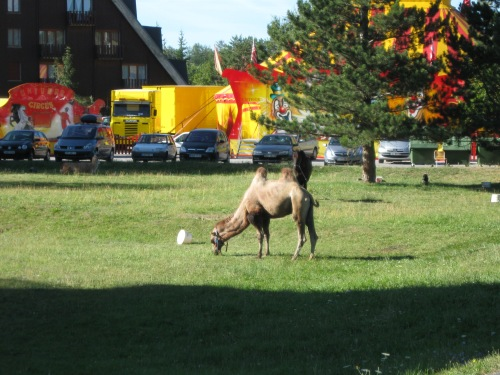 Village Camel!