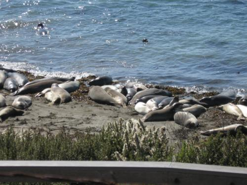 Elephant Seals Everywhere