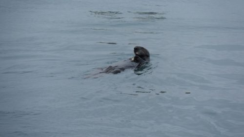 Sea Otter at Moss Landing