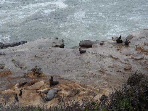 Seal Lions at La Jolla Cove