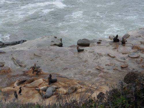 Seal Lions at La Jolla Cove