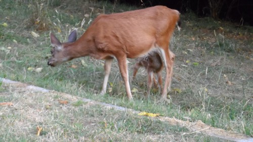 Fawn trying to suckle