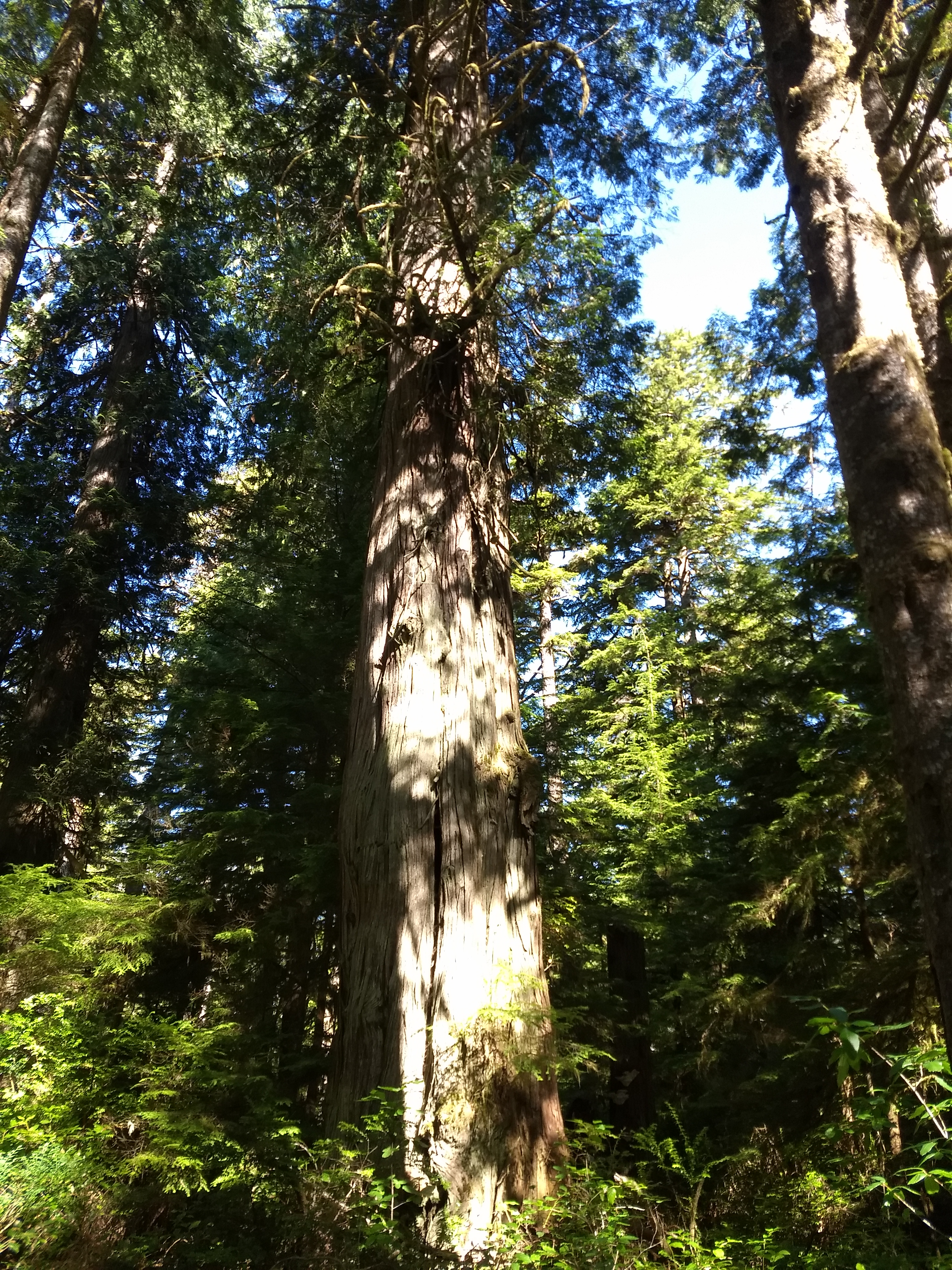 Large old growth trees in this area