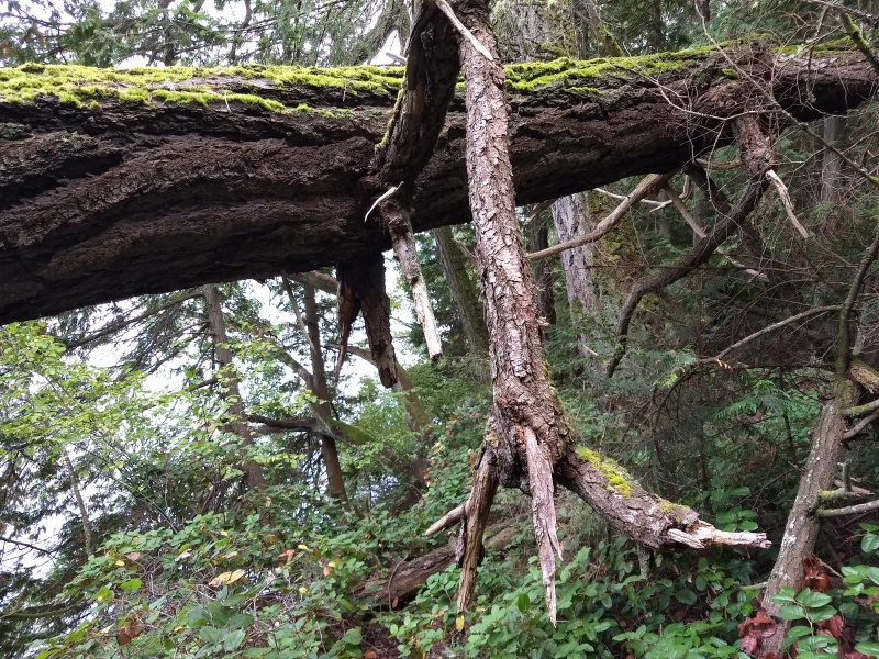 Even Large Trees Fall!